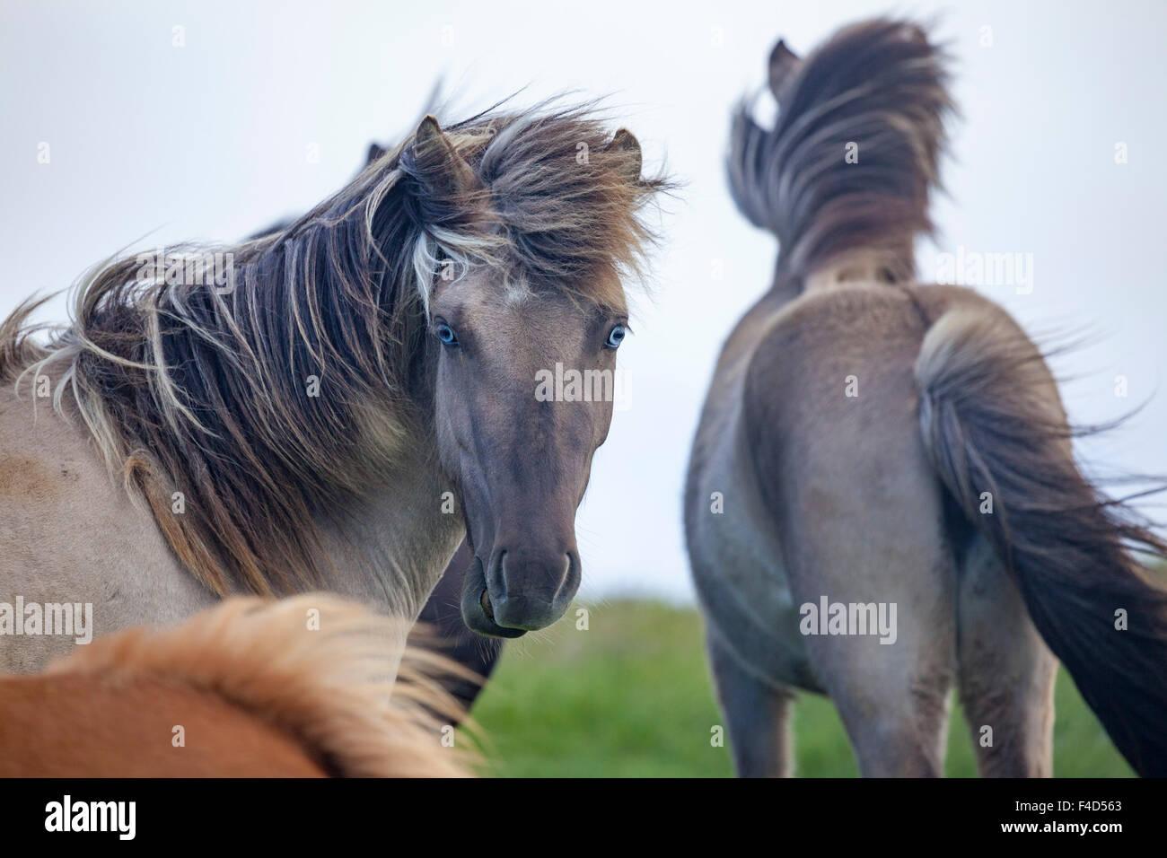Blue eyed Icelandic horse, Nordhurland Vestra, Iceland. - Stock Image