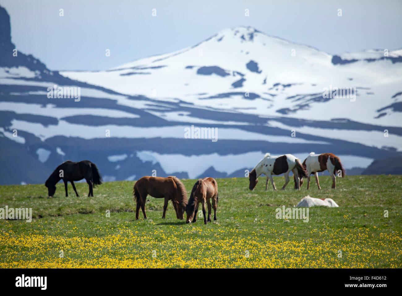 Icelandic horses grazing beneath snowy mountains, Nordhurland Vestra, Iceland. - Stock Image