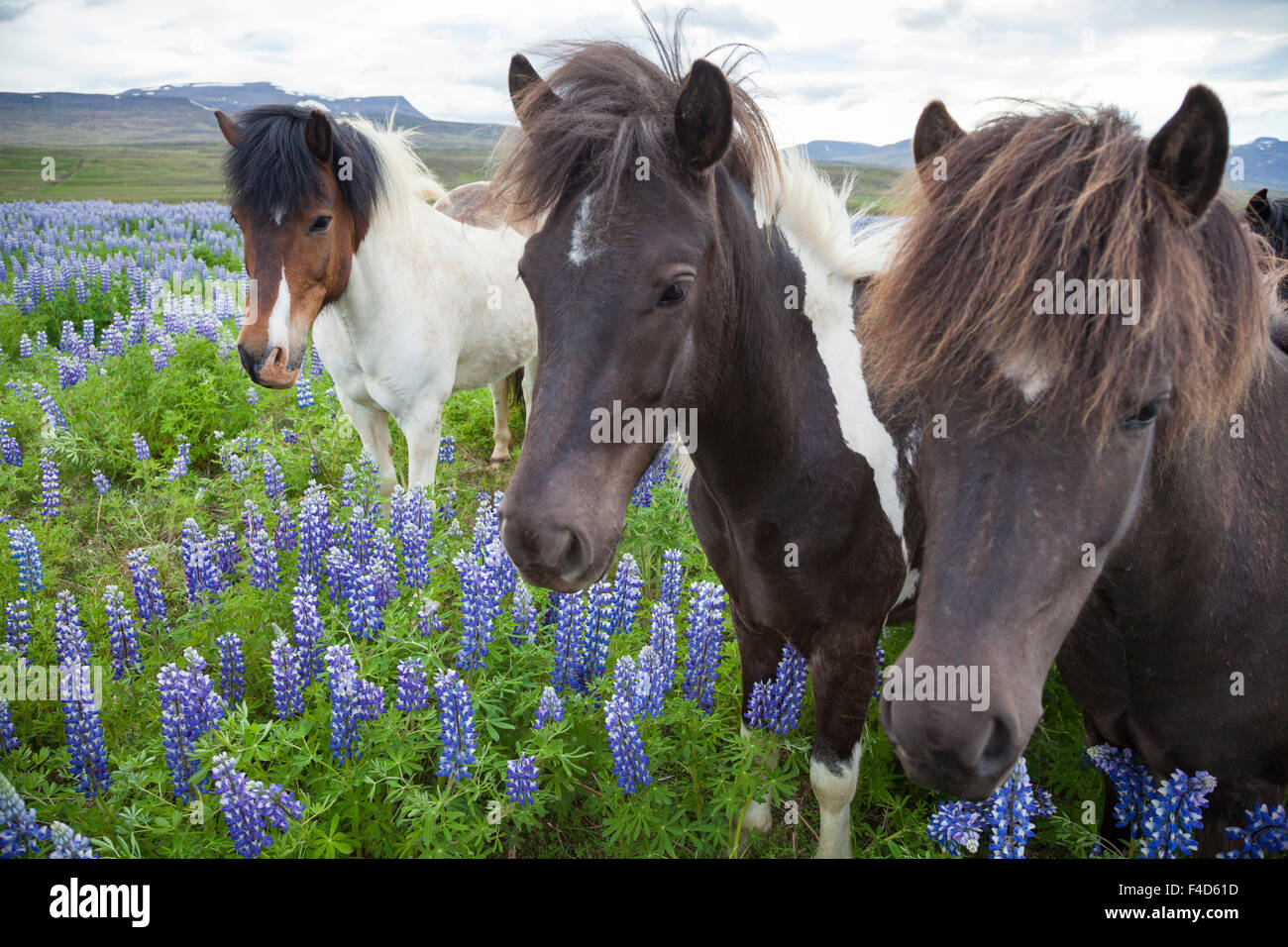 Icelandic horses in a meadow of Blue Alaskan lupins, Varmahlid, Skagafjordur, Nordhurland Vestra, Iceland. Stock Photo
