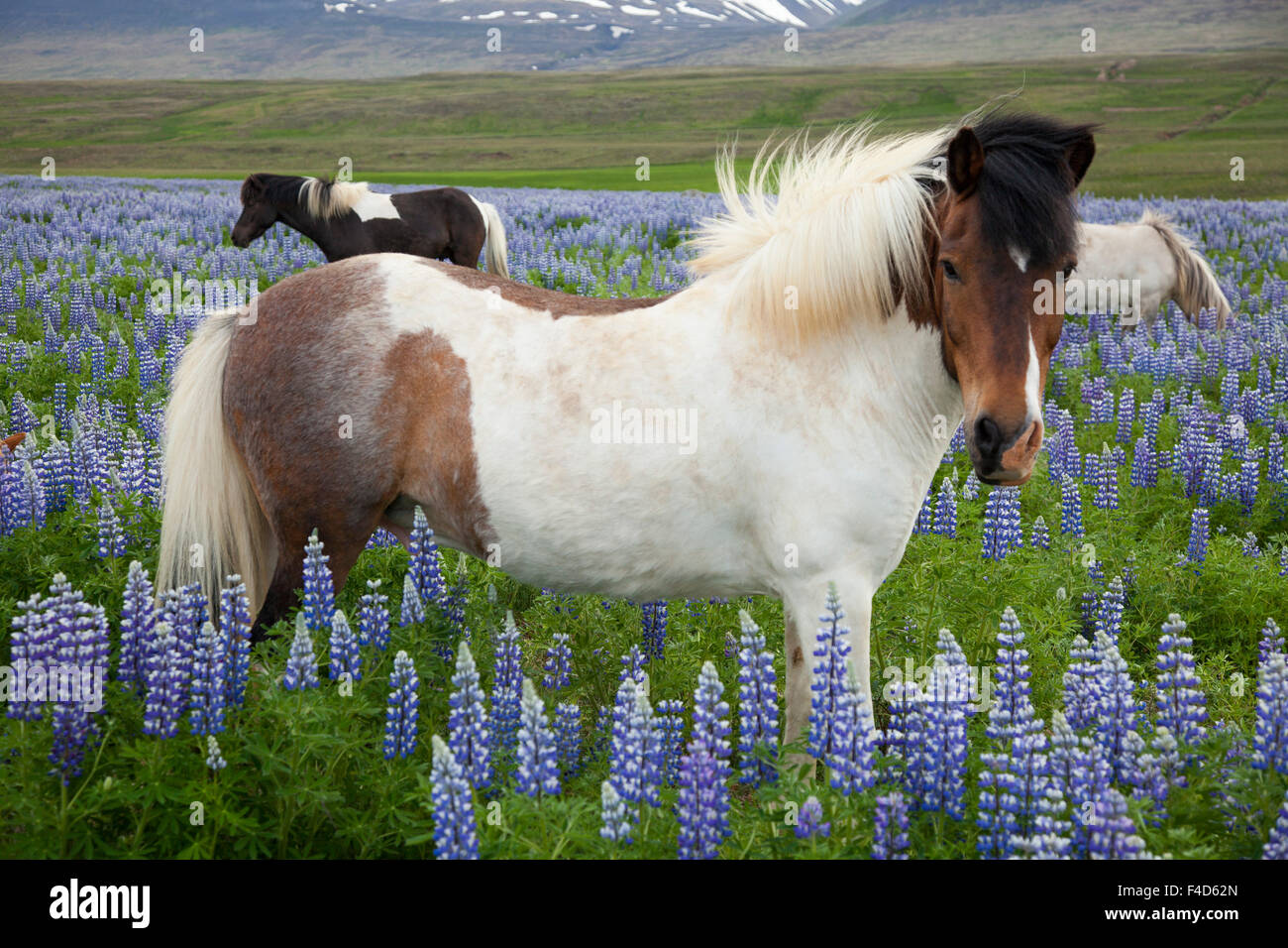Icelandic horses in a meadow of Blue Alaskan lupins, Varmahlid, Skagafjordur, Nordhurland Vestra, Iceland. - Stock Image