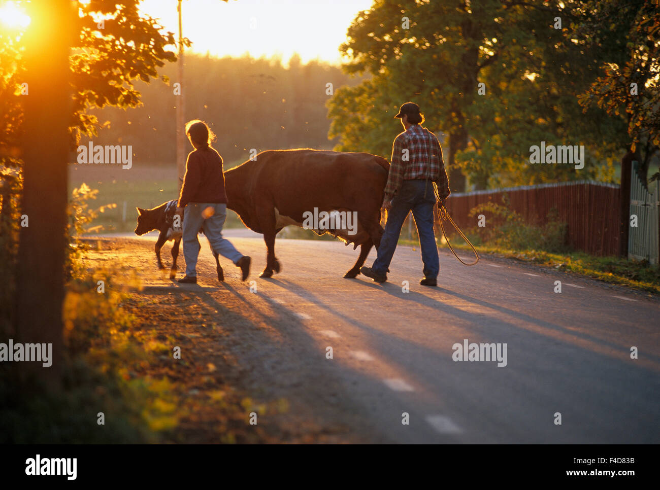 Man and woman with cows on road - Stock Image