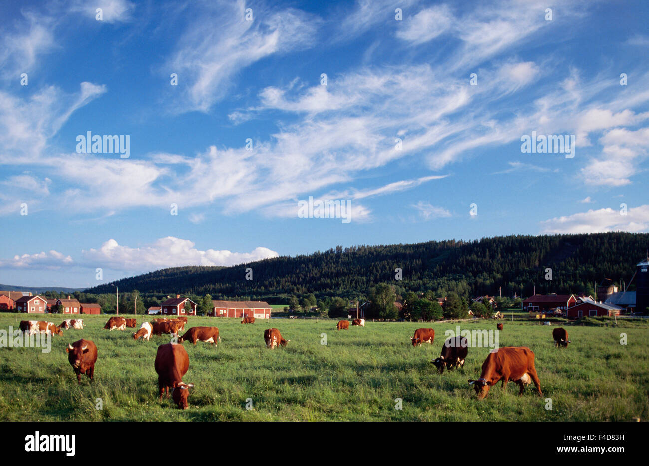 Cows grazing on grassland - Stock Image