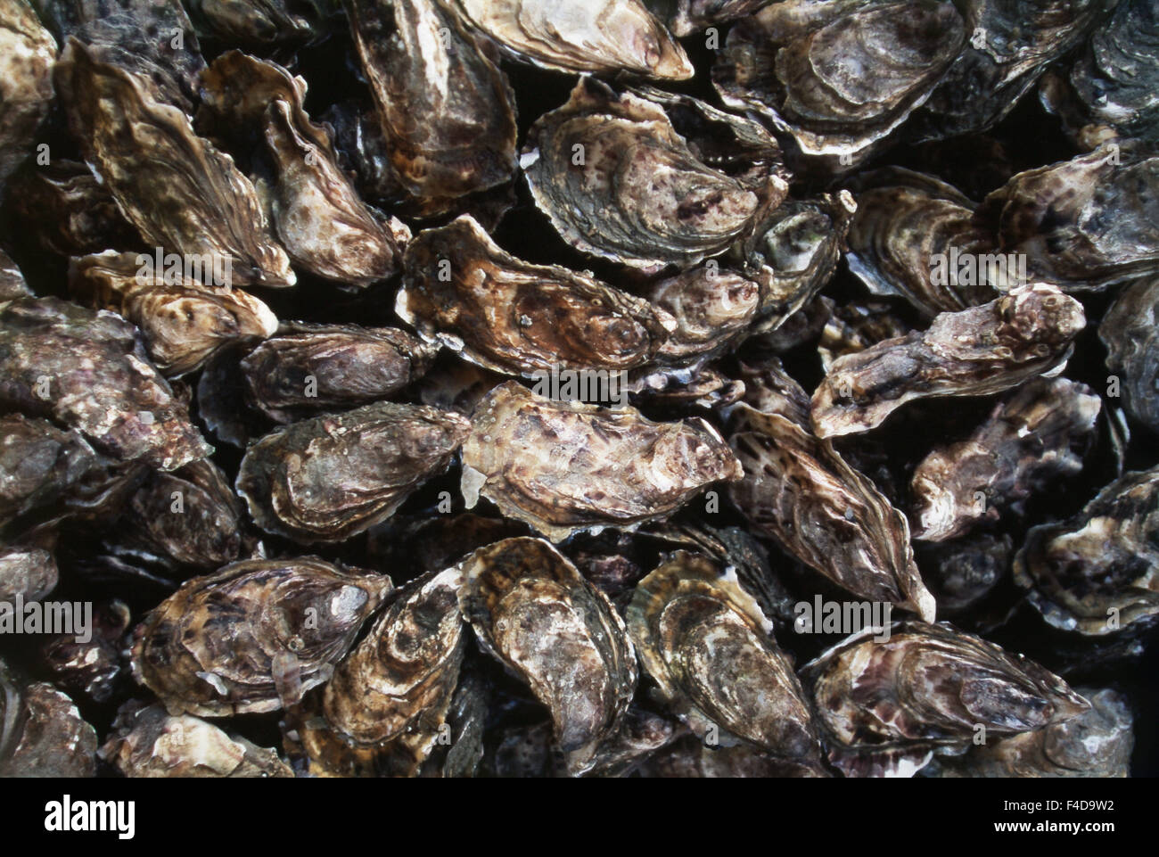 France, Brittany, Iile-et-Vilaine, Cancale, Cancale Oysters 'Fines de Claire'. (Large format sizes available) - Stock Image