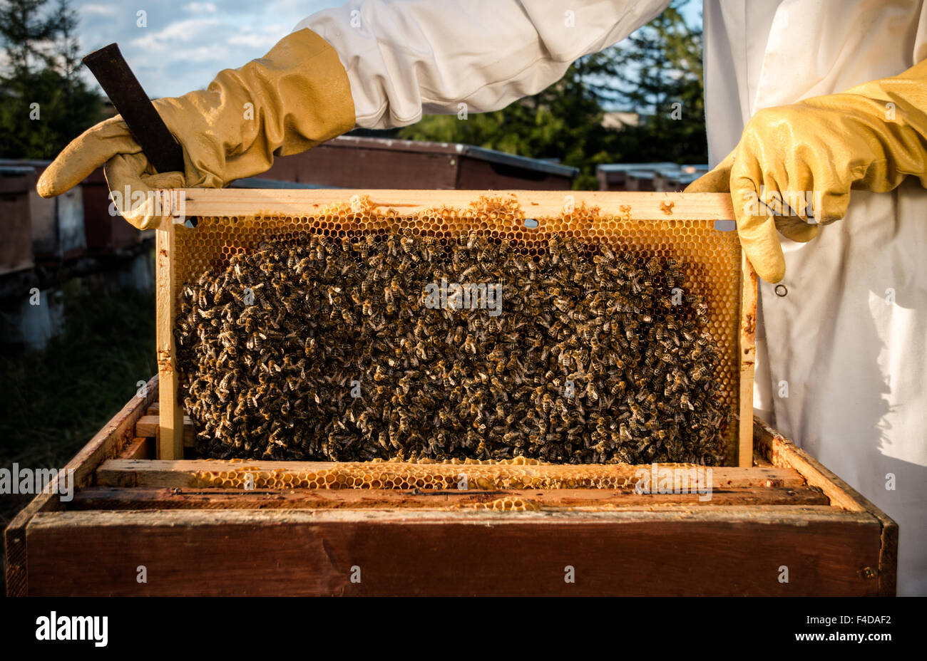 Beekeeping frame full of workinf bees. Honey is visible inside the cells Stock Photo