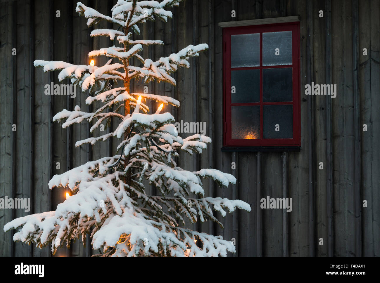 Snow covered Christmas tree, Sweden - Stock Image