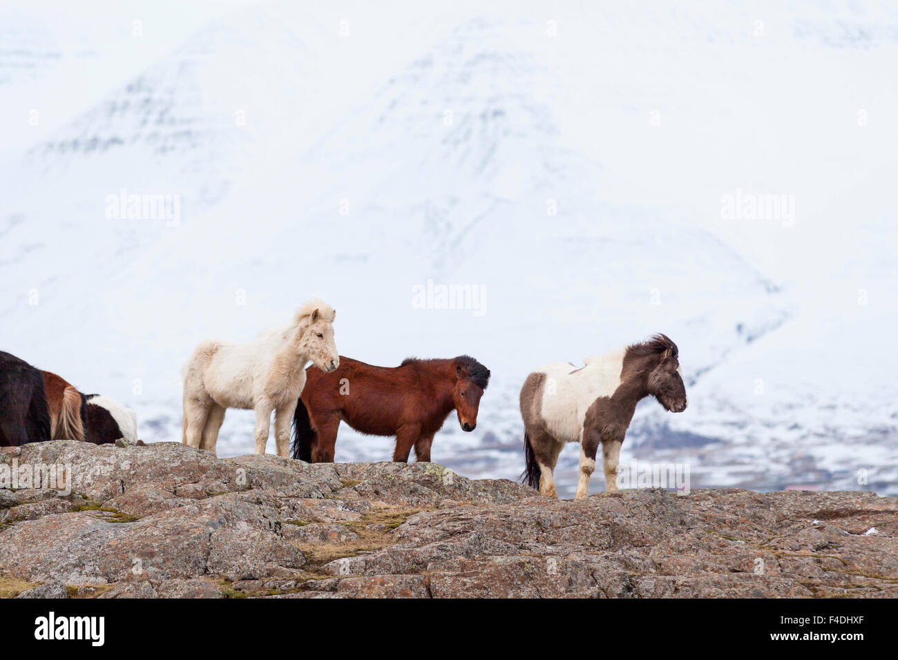 Icelandic Horse during winter on Iceland with typical winter coat. This traditional Icelandic breed traces its origin - Stock Image