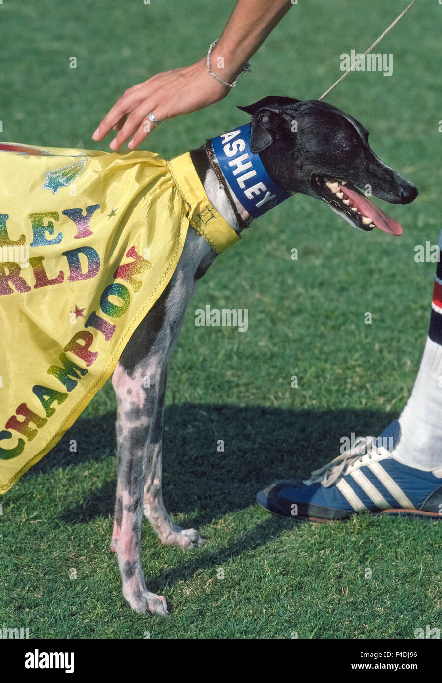 The famous disc-catching dog Ashley Whippet is petted by his owner at the annual Frisbee Dog World Championship - Stock Image