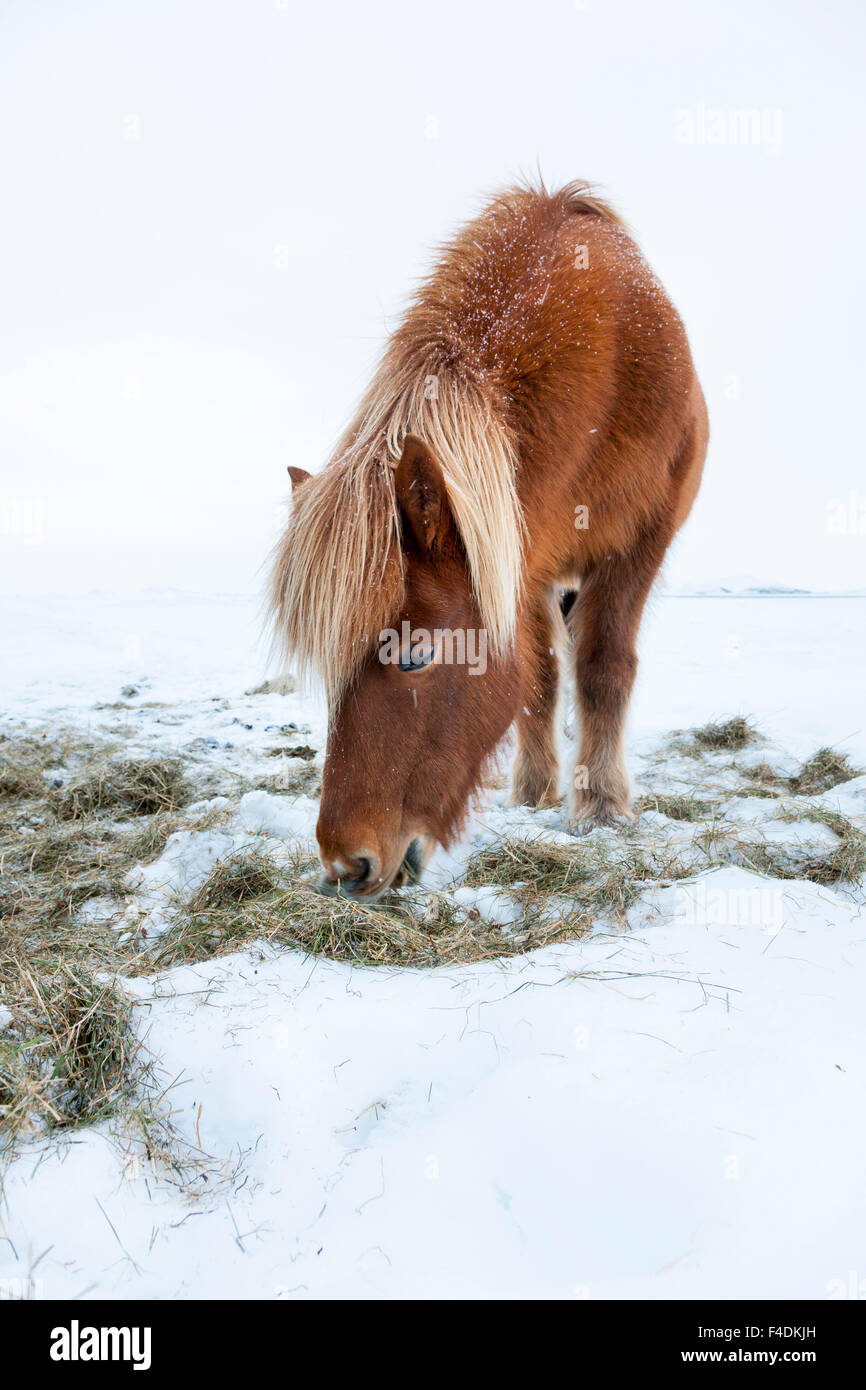Icelandic Horse during winter near lake Myvatn on Iceland with typical winter coat. This traditional Icelandic breed - Stock Image