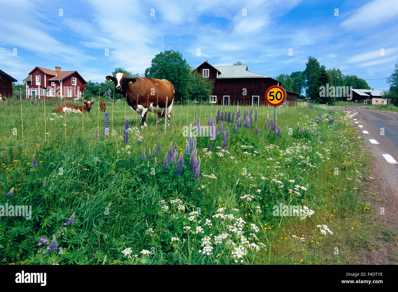 Cows in a enclosed pasture. - Stock Image