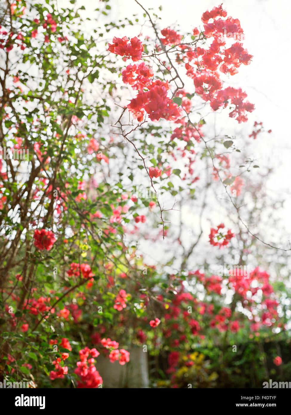 Flowers hug a wall at  Maroma Spa and Resort. Riviera Maya,Yucatan,Mexico. - Stock Image