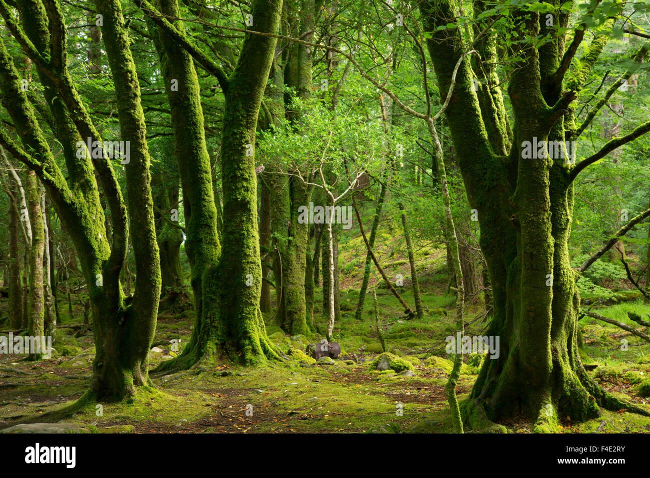 Mossy trees near Torc Waterfalls, Killarney National Park, County Kerry, Ireland - Stock Image