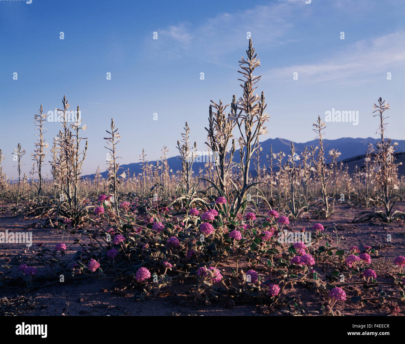 California, Sand Verbena Wildflowers (Abronia villosa) growing at the base of an extremely rare Desert Lily (Hesperocallis) - Stock Image