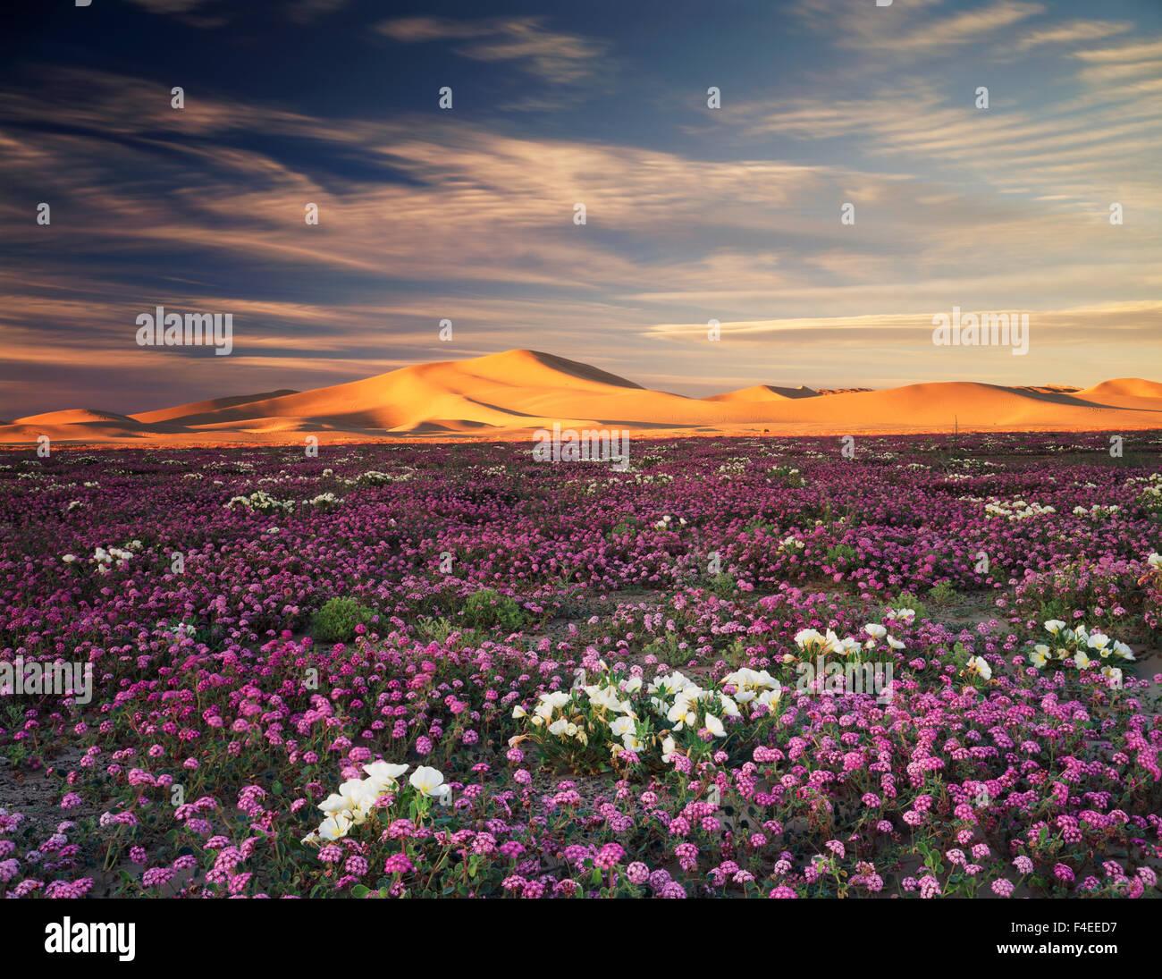 California, Sand Verbena Wildflowers (Abronia villosa) and Dune Evening Primrose (Oenothera deltoides) flowers on - Stock Image