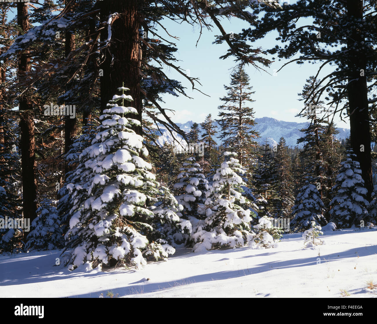 California, Sierra Nevada Mountains, Inyo National Forest, snow-covered Red Fir Tree (Abies magnifica) forest. (Large - Stock Image