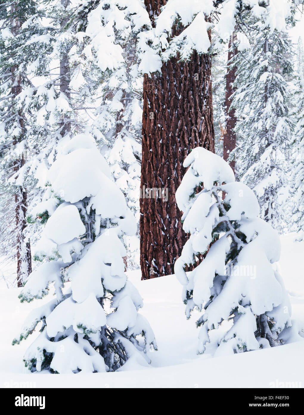California, Sierra Nevada Mountains, Inyo National Forest, A red fir tree trunk (Abies Magnifica) in a snow-covered - Stock Image