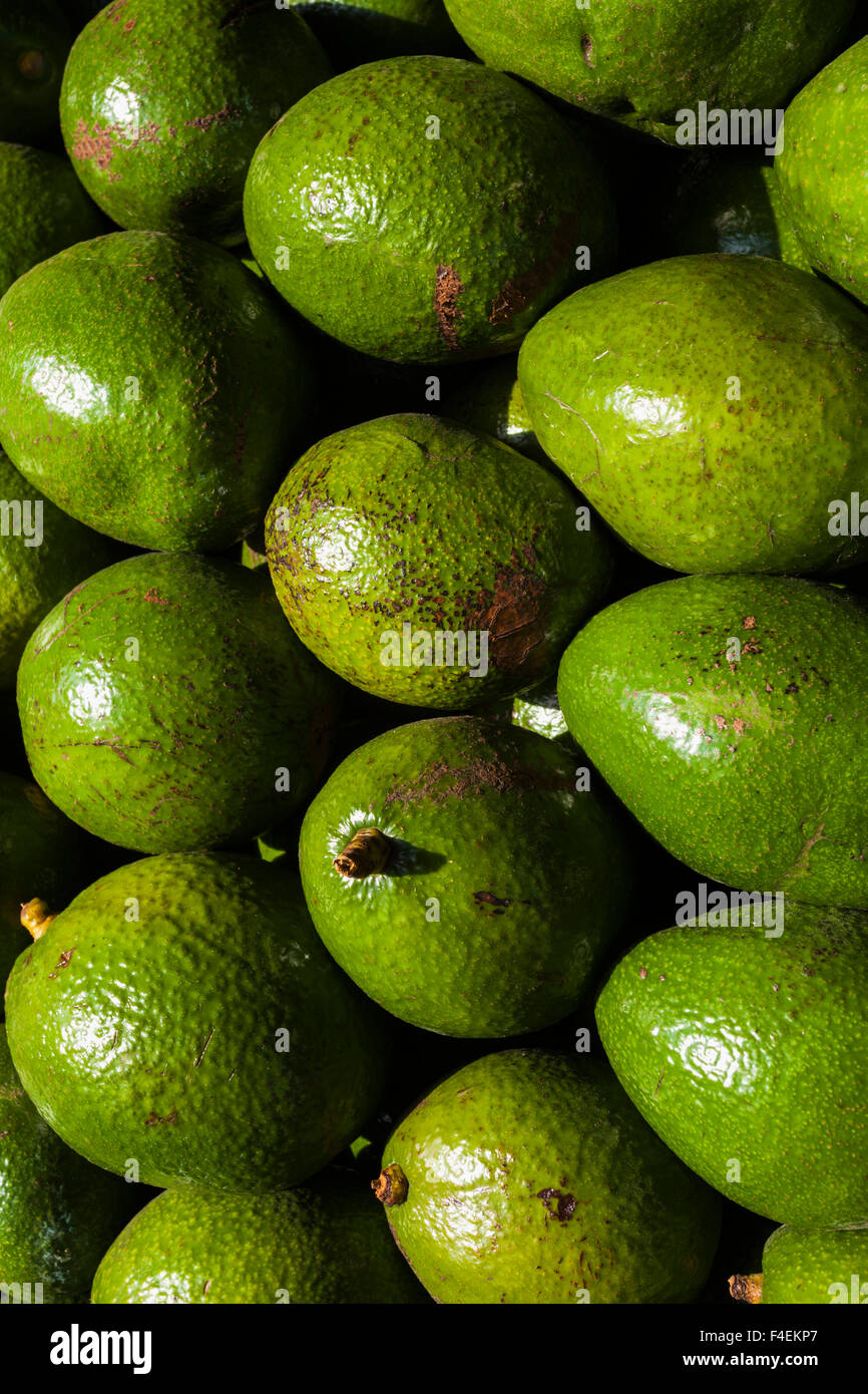 USA, Florida, Homestead, avocadoes. - Stock Image