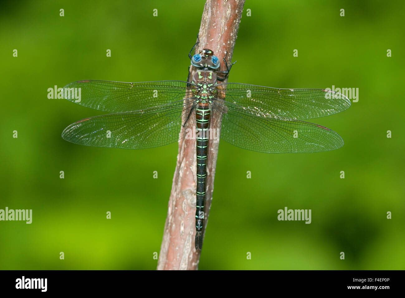 Swamp Darner (Epiaeschna heros) male perched on branch, Clay Co. IL Stock Photo