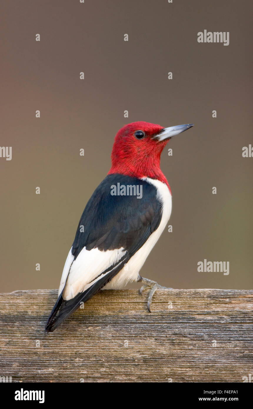 Red-headed Woodpecker (Melanerpes erythrocephalus) on fence Marion, Illinois, USA. Stock Photo