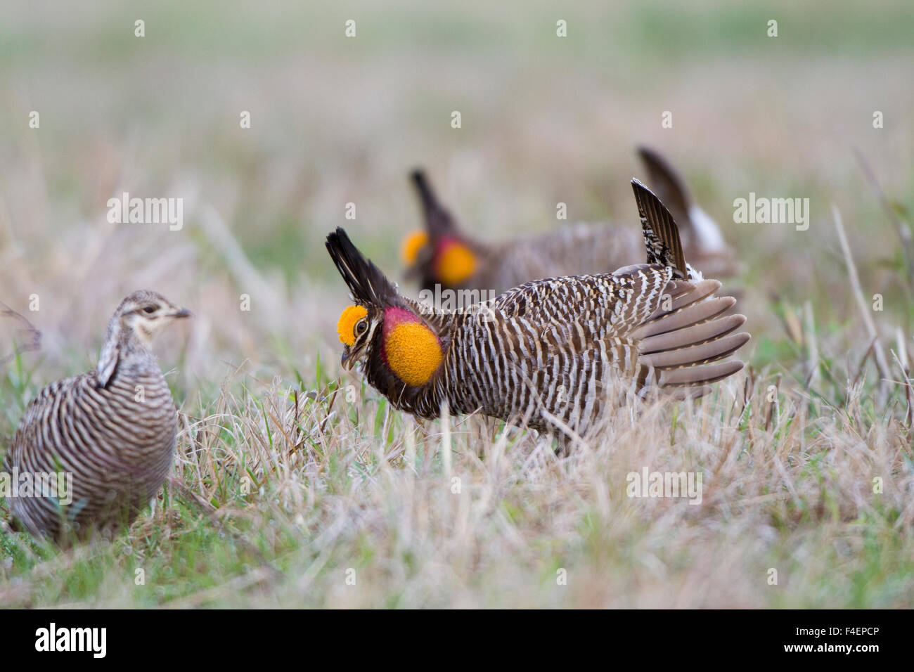 Greater Prairie Chickens (Tympanuchus cupido) males displaying for
