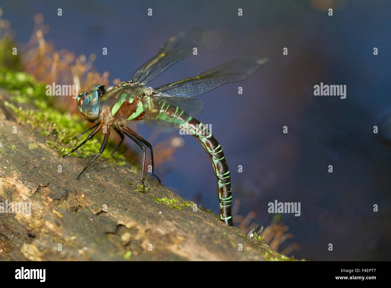 Swamp Darner (Epiaeschna heros) female ovipositing laying eggs on log in water, Marion, Illinois, USA. Stock Photo