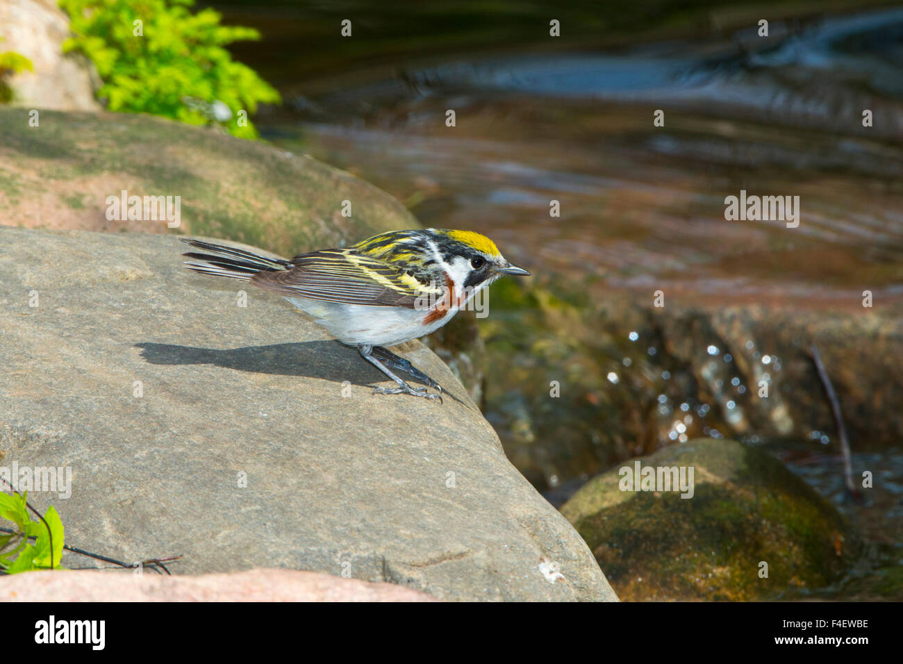 Minnesota, Mendota Heights, Chestnut-sided Warbler perched on Rock Stock Photo