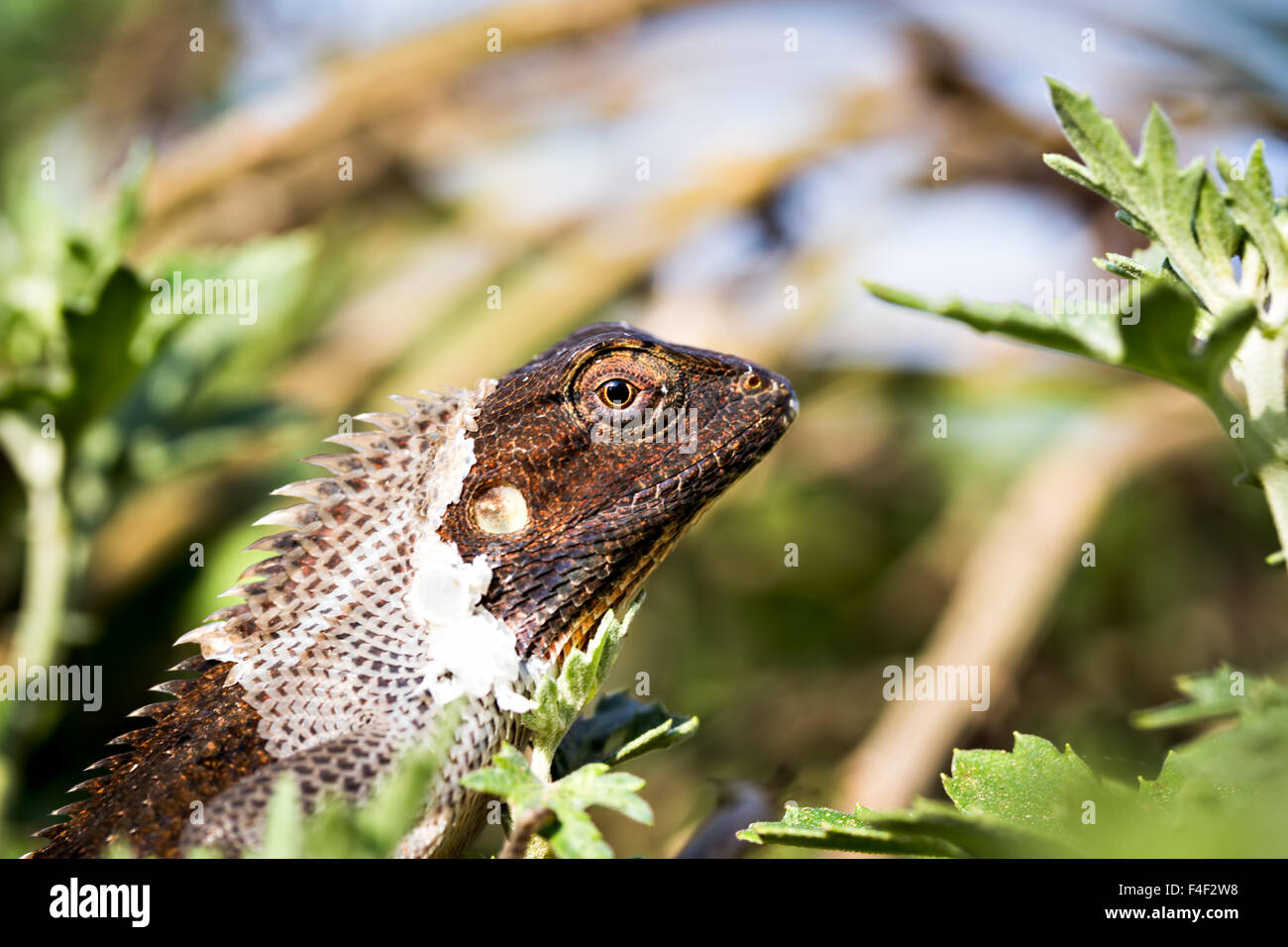 close up of a garden lizard resting and casting off epidermis on a Chrysanthemum plant basking in the morning sun Stock Photo