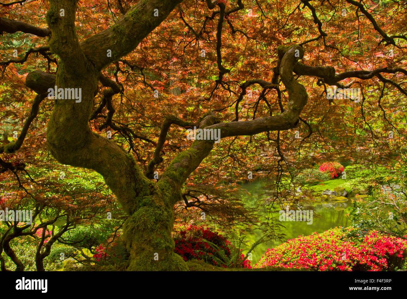 Japanese Maple, spring, bloom, Portland Japanese garden, Portland ...