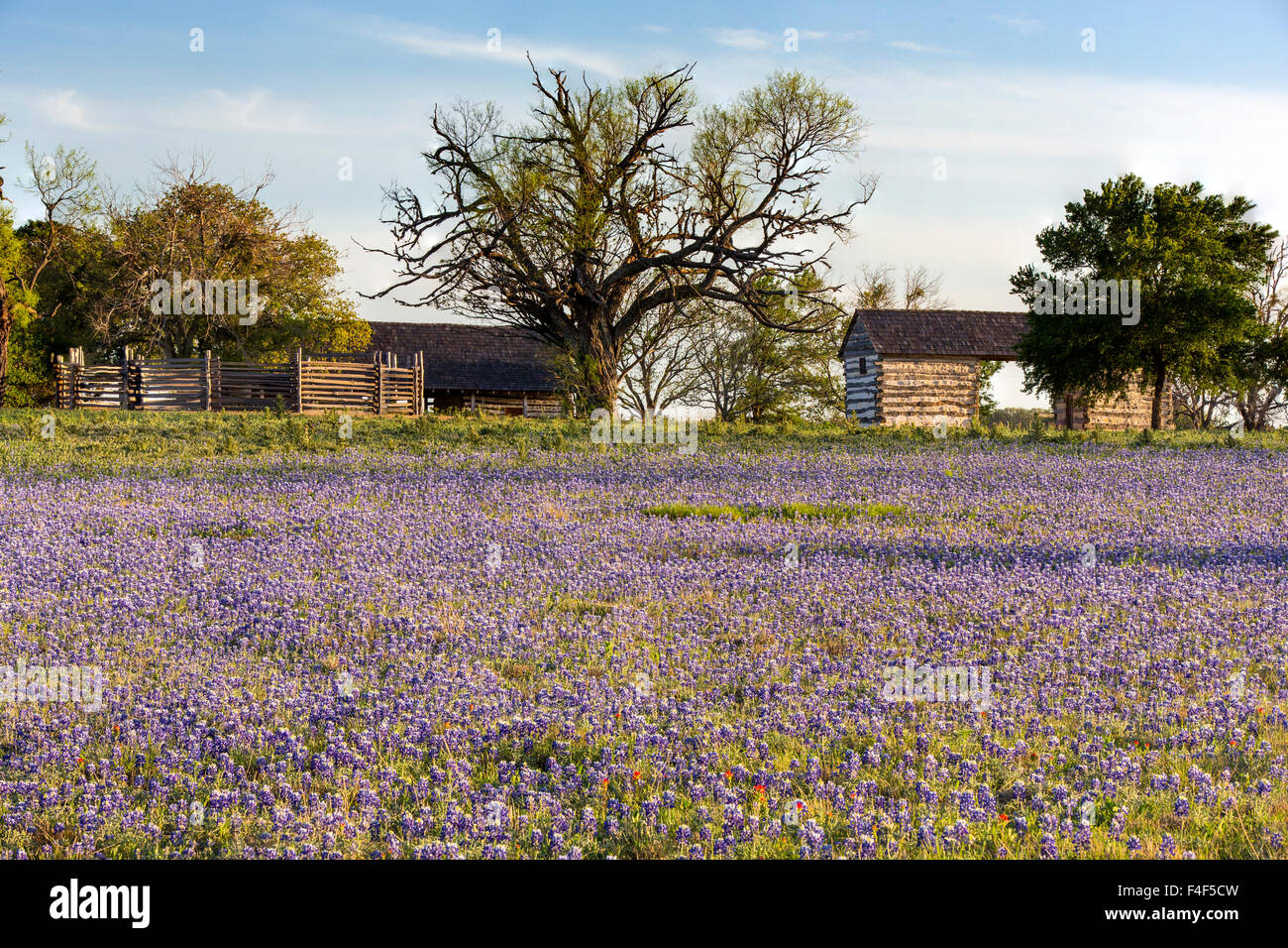 Field of bluebonnets and paintbrush wildflowers at LBJ State Park in Stonewall, Texas USA. Stock Photo