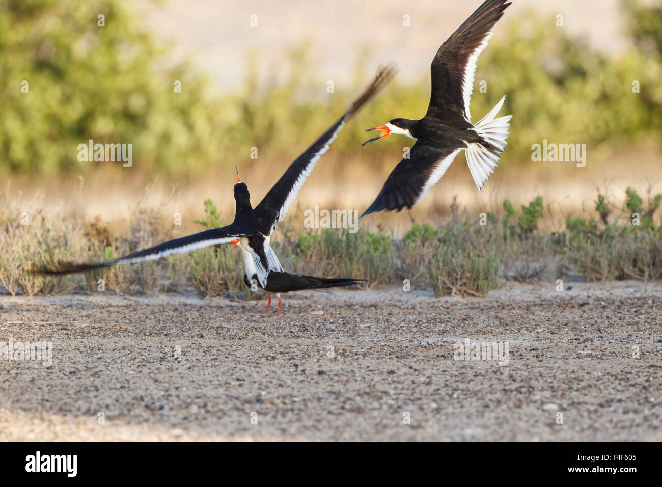 Port Isabel, Texas. Black Skimmers in courtship flight - Stock Image