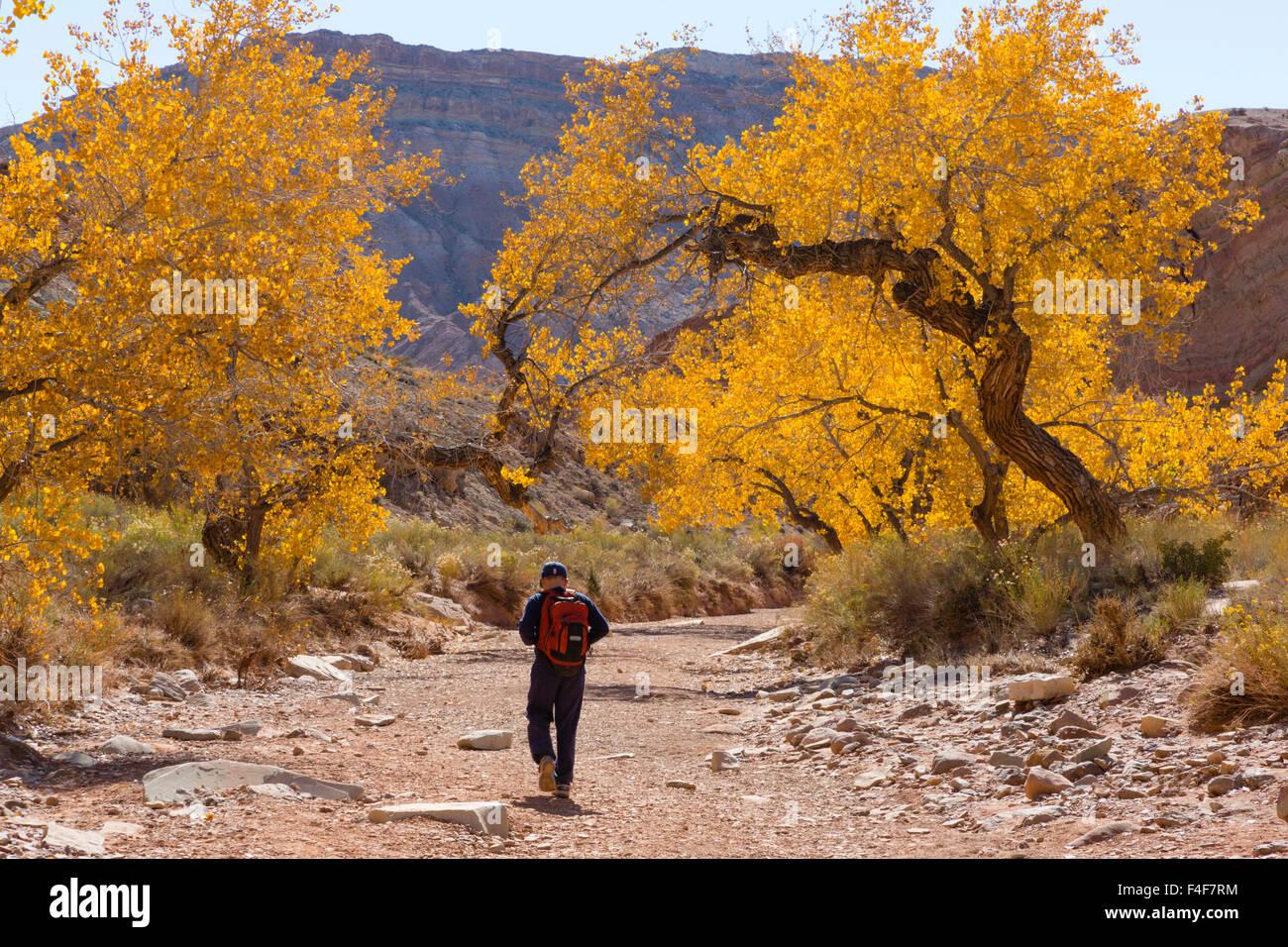 USA, Utah, Emery, Cottonwood Trees. - Stock Image