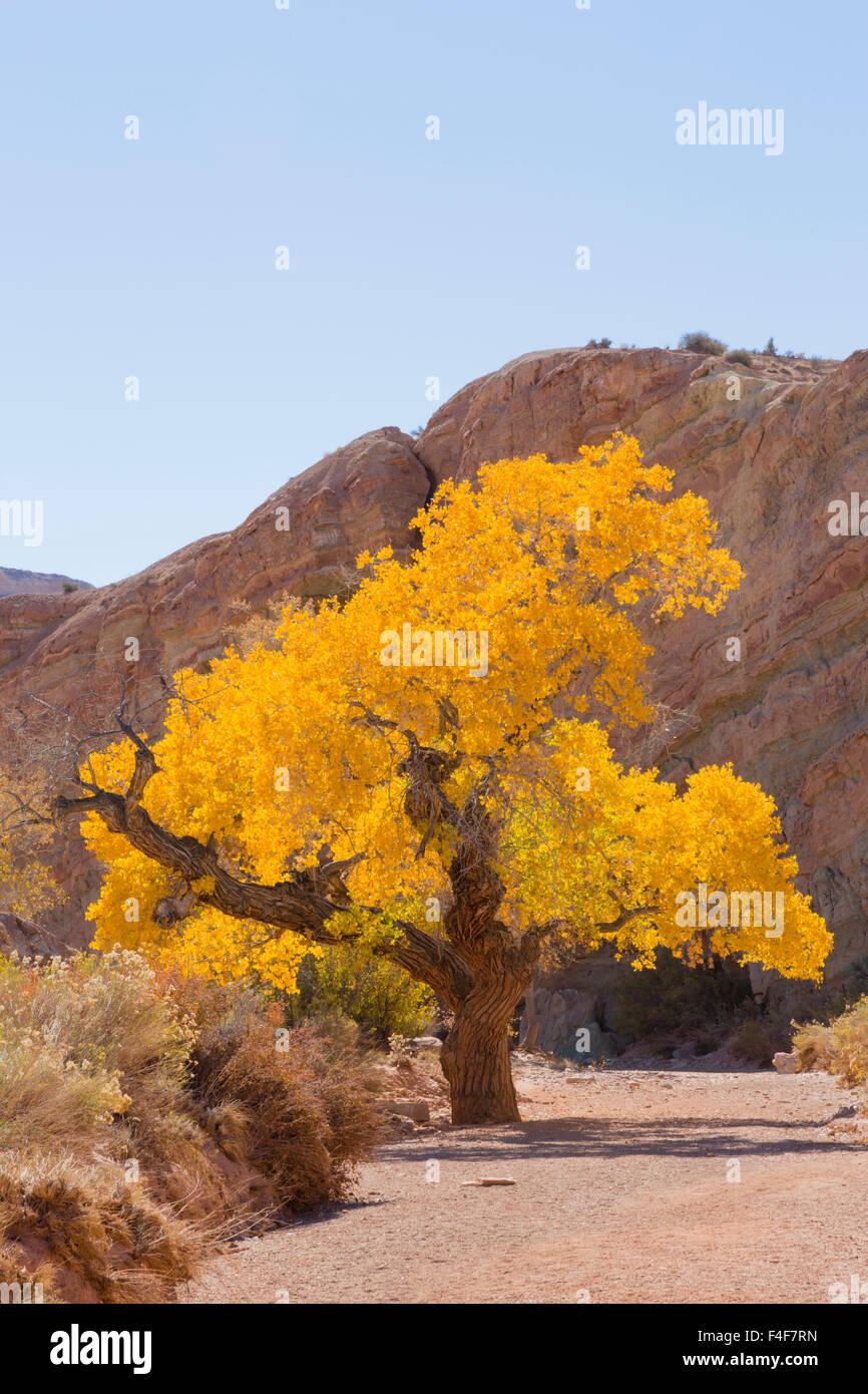 USA, Utah, Emery, Cottonwood Tree. - Stock Image