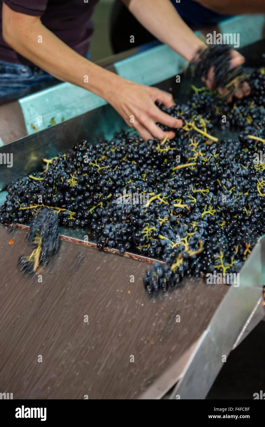 USA, Washington, Woodinville. Winery workers sort cabernet grapes at crush. - Stock Image