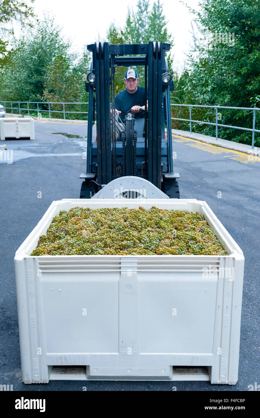 USA, Washington, Woodinville. Bin of grapes is moved to stemmer during crush by forklift driver. - Stock Image