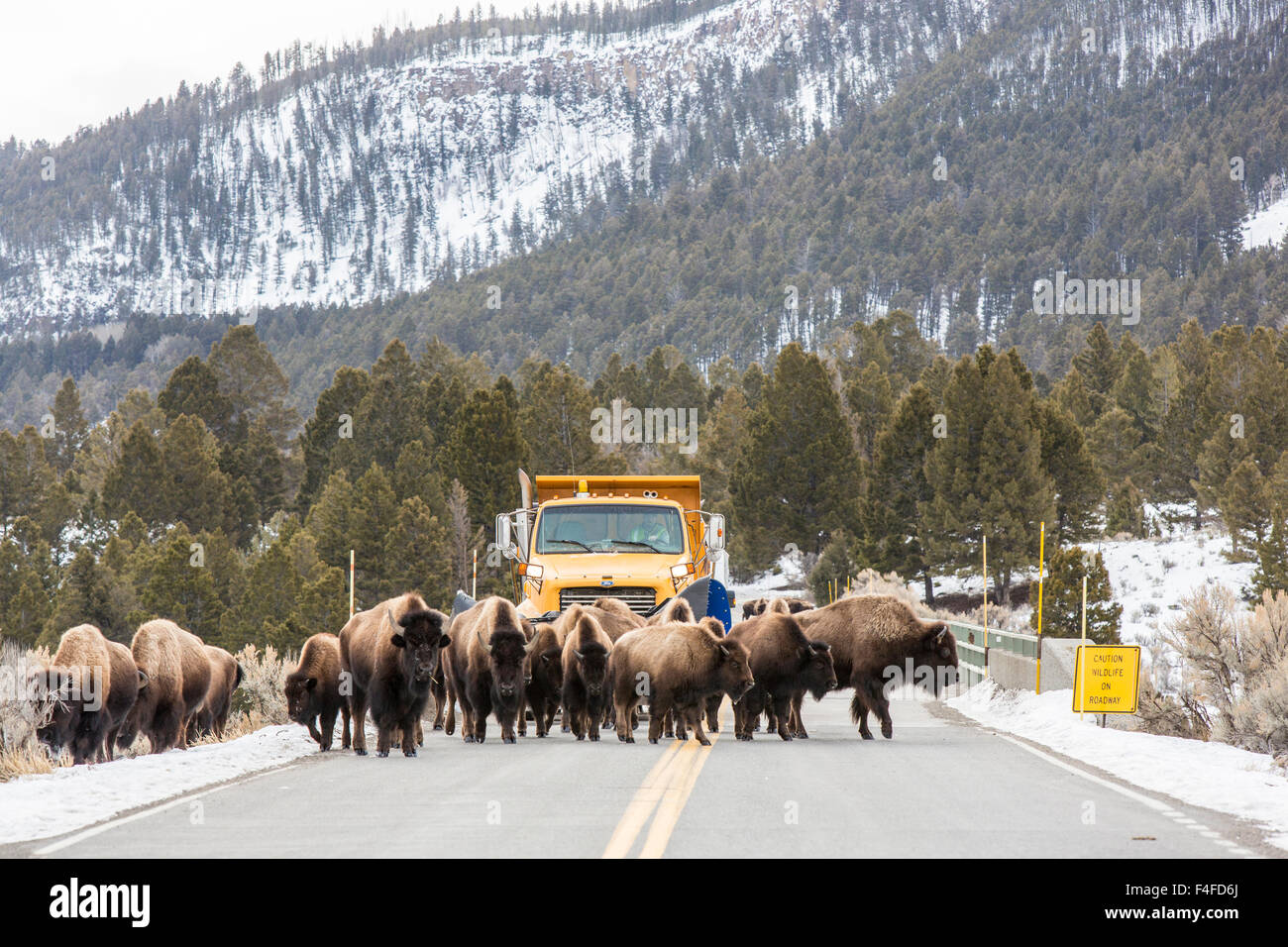Bison herd causes snowplow delay on bridge in Yellowstone National Park, Wyoming, USA. - Stock Image