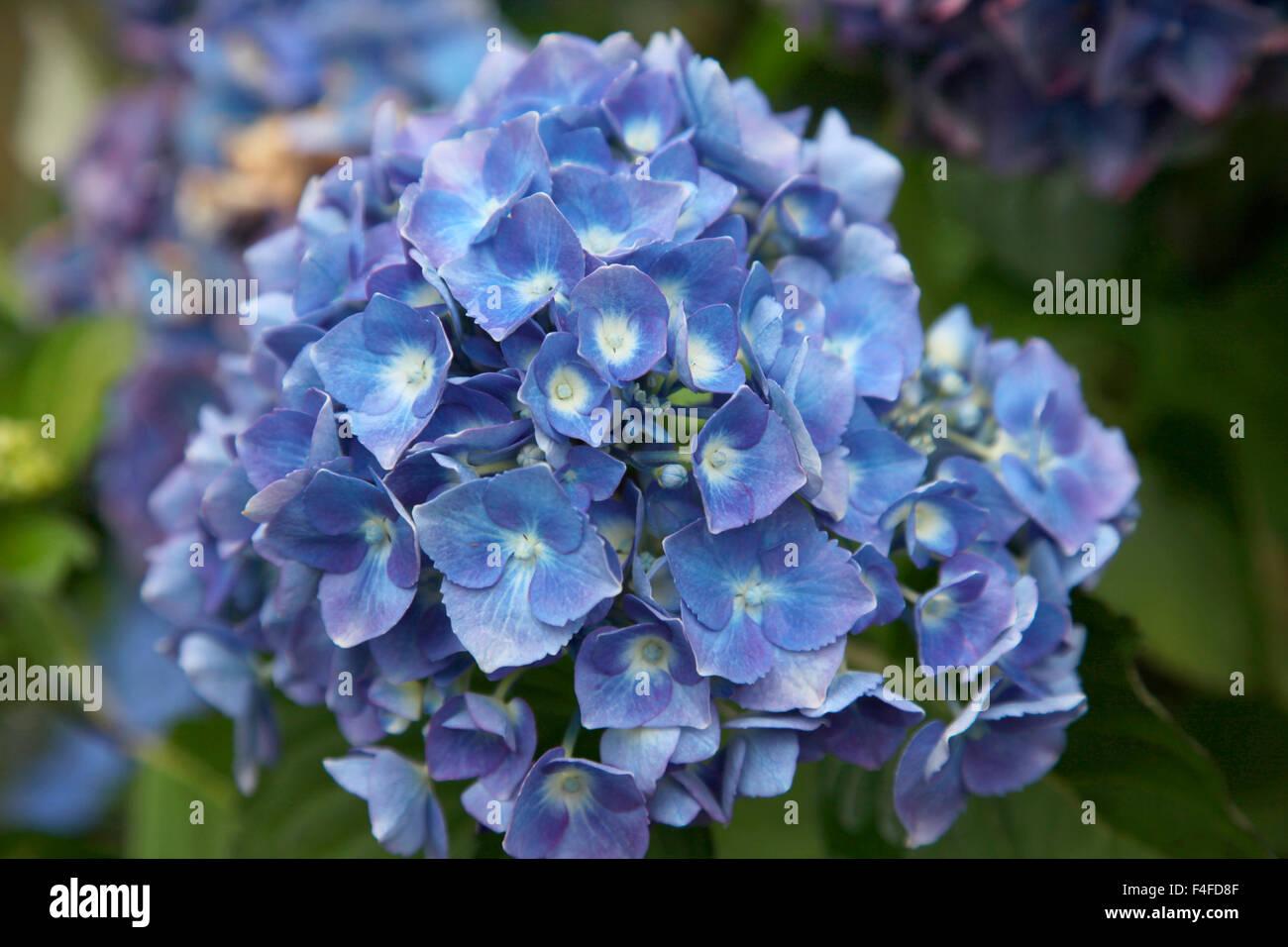 Blue blooming hydrangea flowers, Renton, Washington State, USA Stock ...