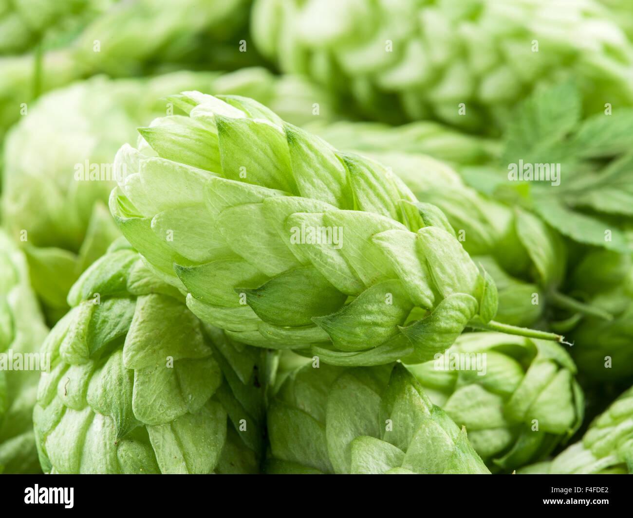 Green hop cones -  ingredient in the beer production. - Stock Image