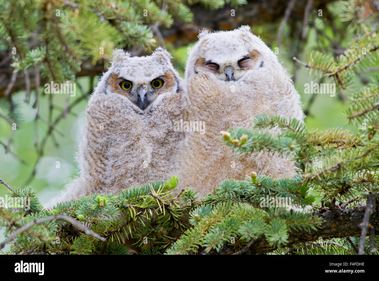 USA, Wyoming, two fledged Great Horned Owl chicks roosting in conifer Stock Photo