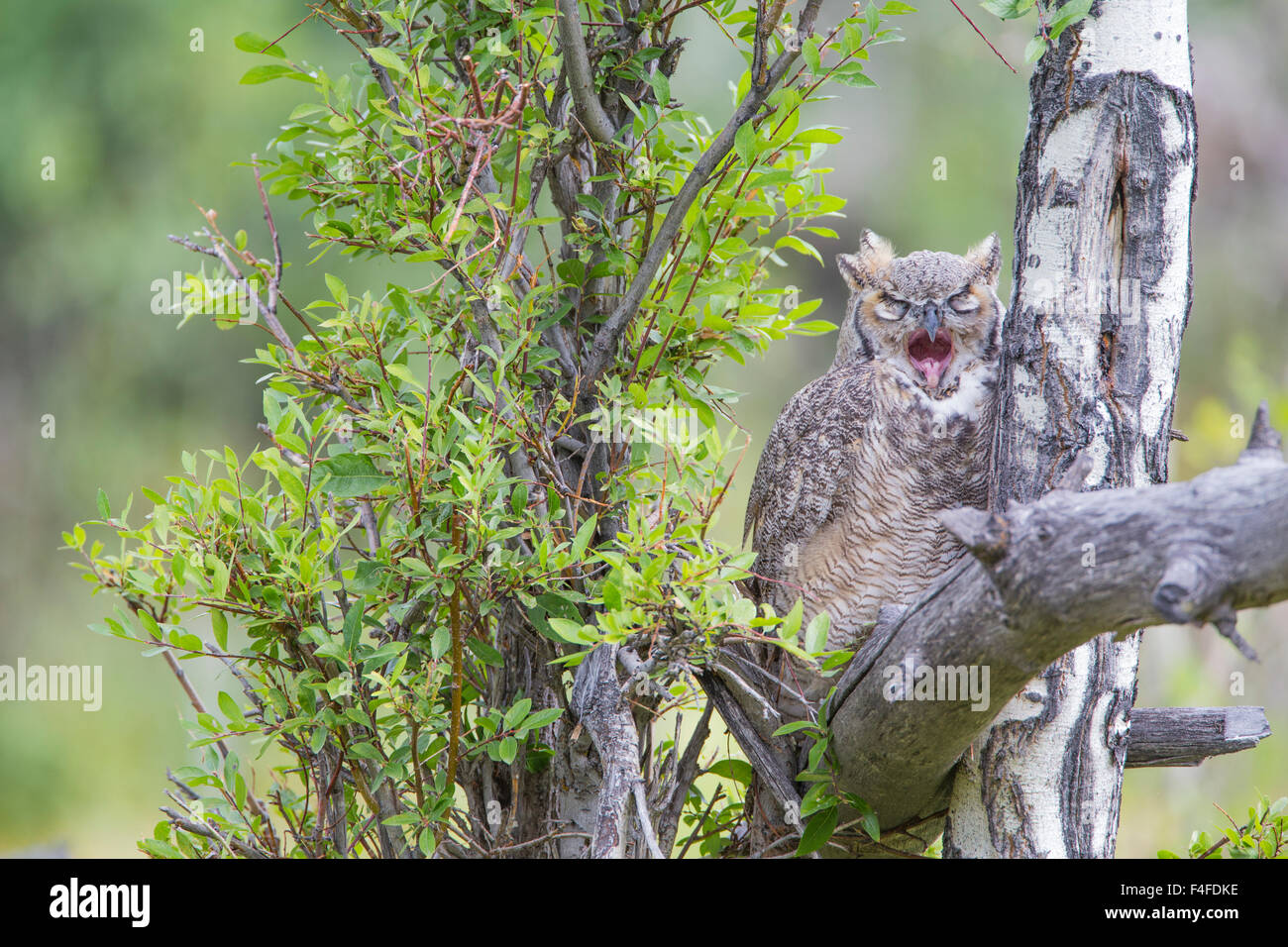 USA, Wyoming, Great Horned Owl juvenile roosting on log and yawning. Stock Photo