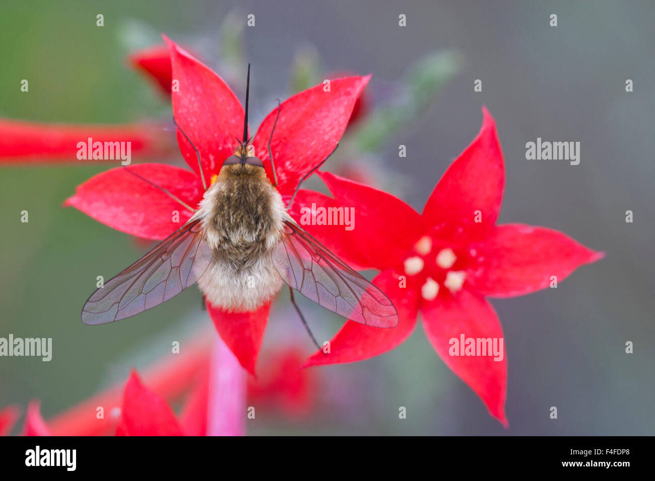 Wyoming, Sublette County, Bee Fly with proboscis showing on Scarlet Gilia flowers. - Stock Image