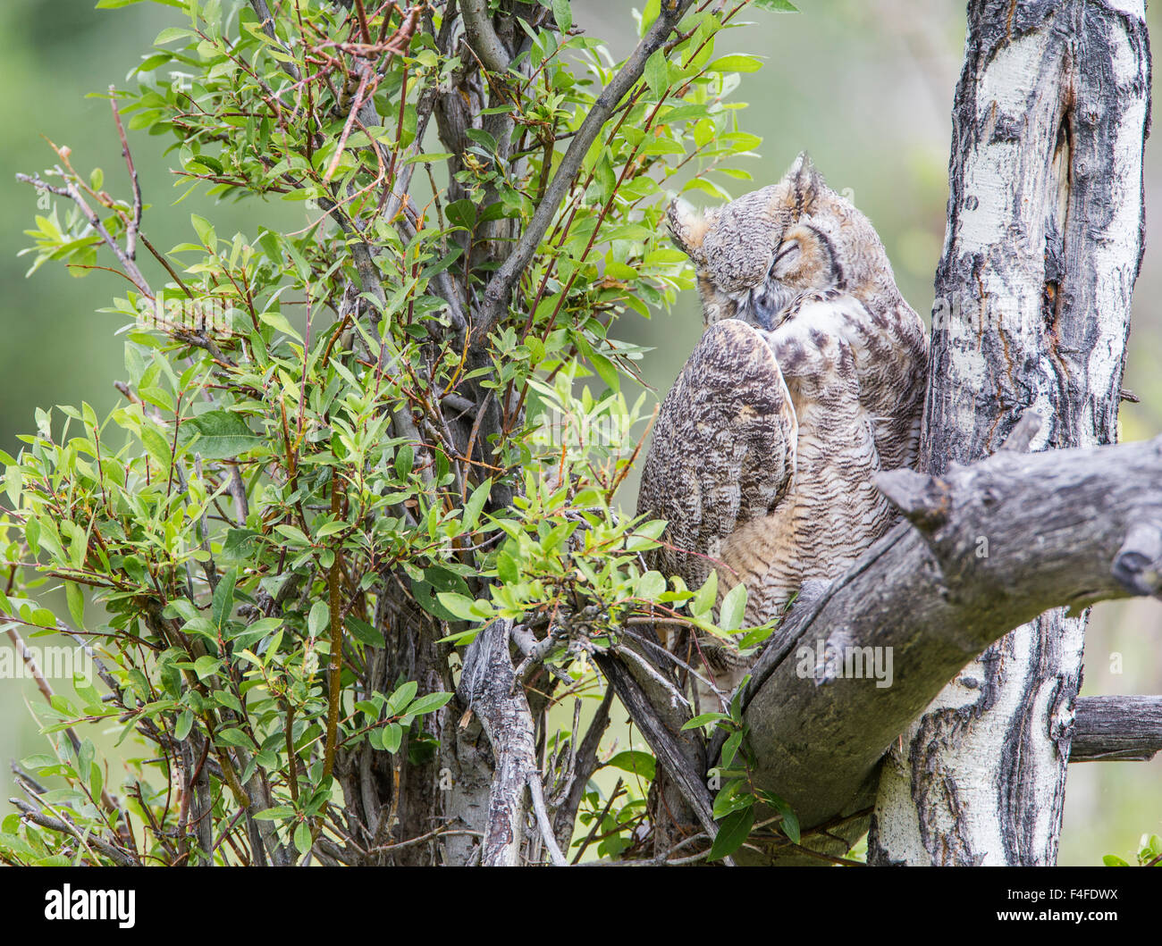 Wyoming, Sublette County, Great Horned Owl sleeping. Stock Photo