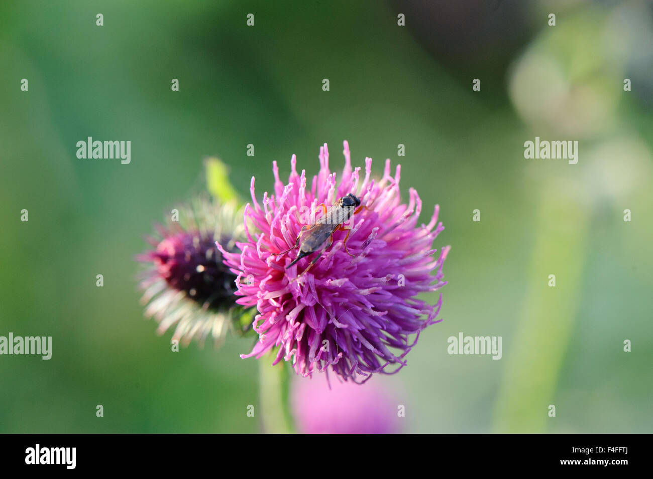 Purple Clover Flower Stock Photo 88852194 Alamy
