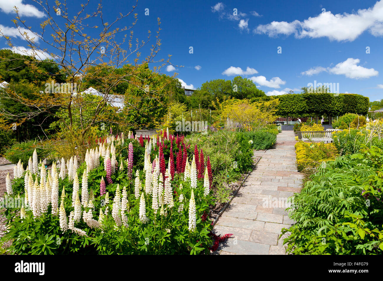 Colourful lupins in the double walled garden at the National Botanical Gardens of Wales, Carmarthenshire, Wales, - Stock Image