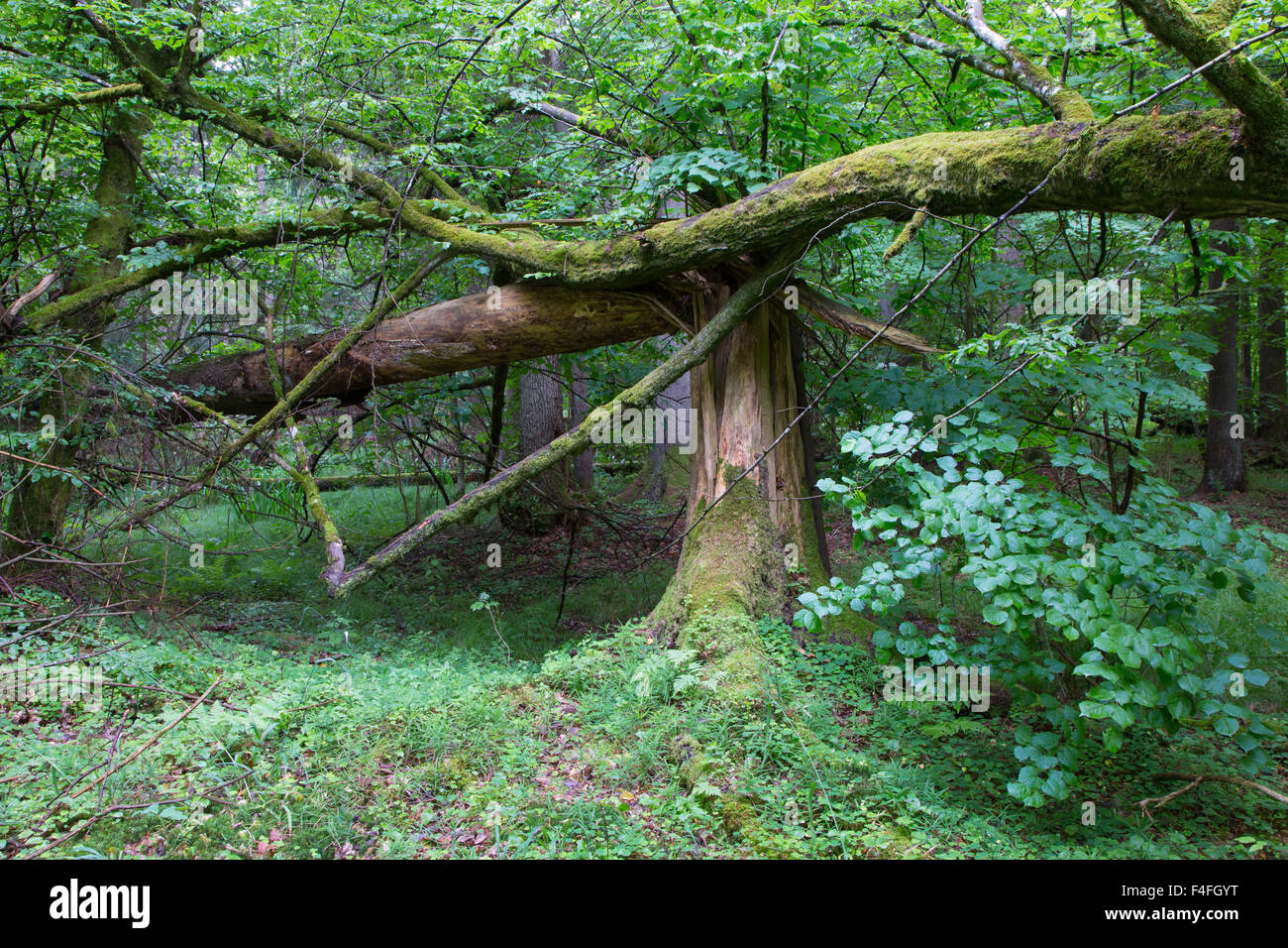 Big old spruce tree broken and another one tree moss wrapped hanging over stump,Bialowieza Forest,Poland,Europe - Stock Image