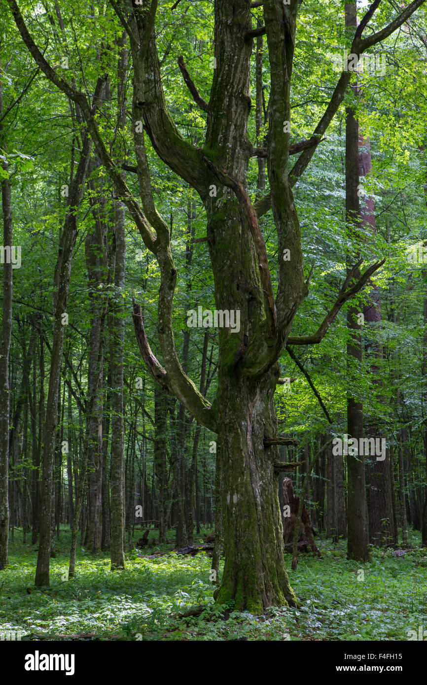 Old monumental Hornbeam Tree(Carpinus betulus) in front of juvenile deciduous stand of Bialowieza Forest,Poland,Europe - Stock Image