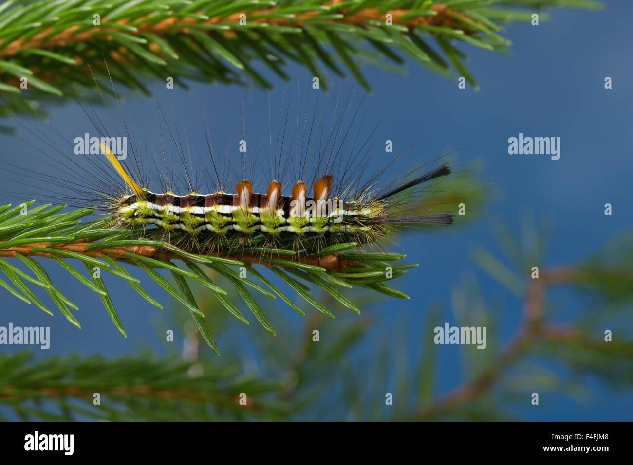 Coniferous tussock moth, caterpillar, Tannen-Streckfuß, Raupe, Tannen-Streckfuss, Tannenstreckfuß, Calliteara - Stock Image