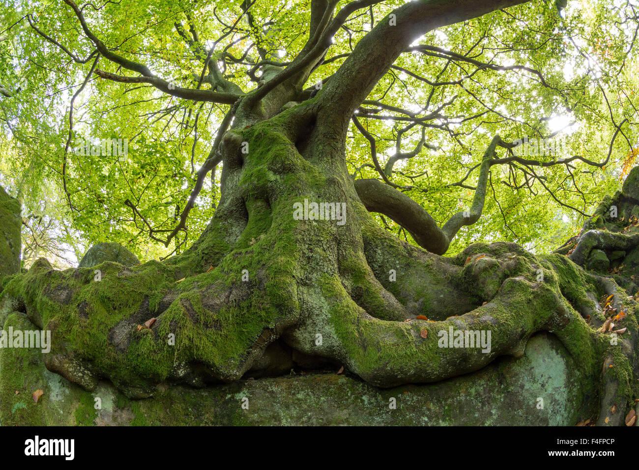 Ancient Beech tree, Fagus sylvatica, Peak District National Park, Derbyshire - Stock Image
