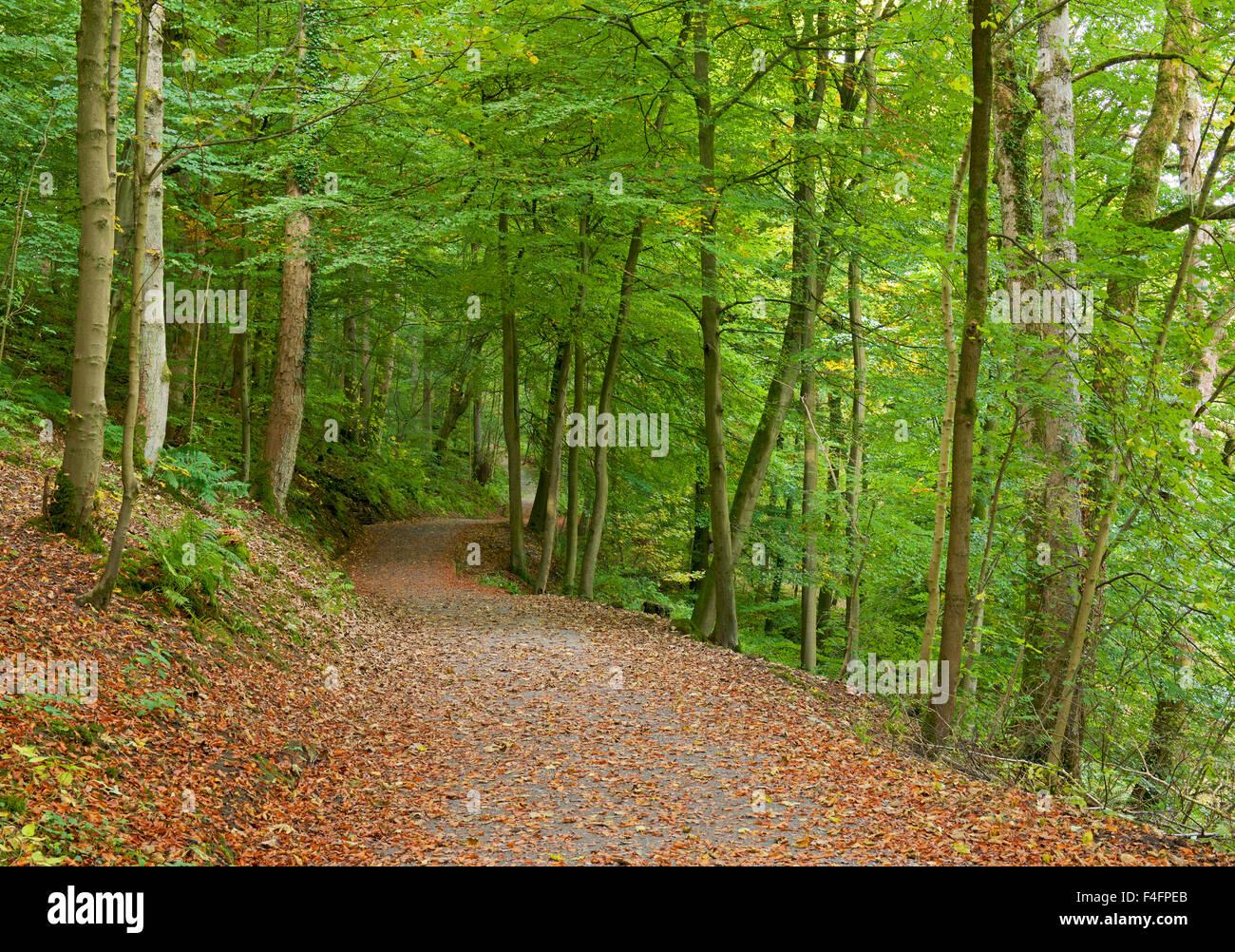 Path through Bolton Wood, Wharfedale, North Yorkshire, England UK - Stock Image