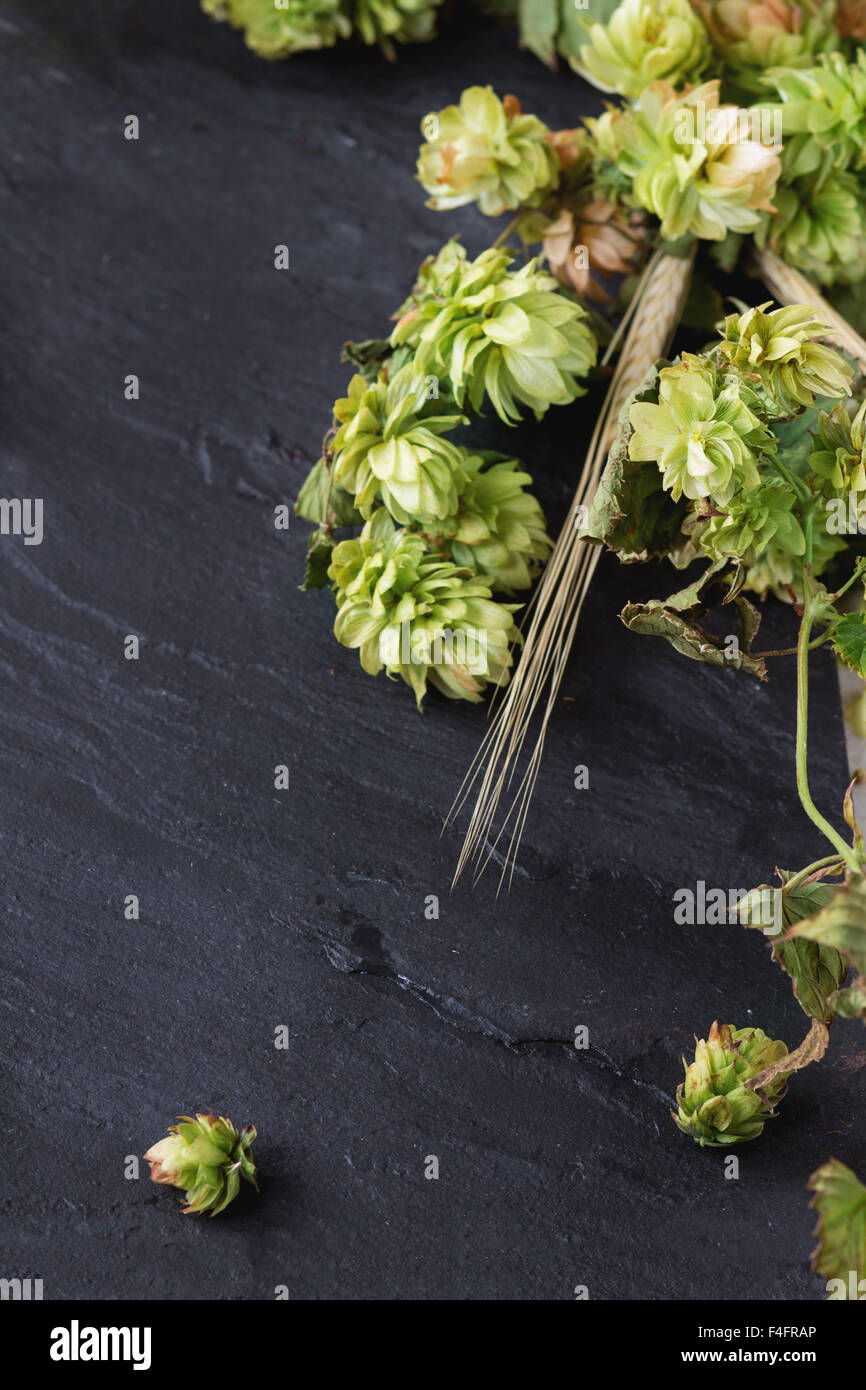 Fresh branches and cones of green hop and ears of barley over black slate board as background. Beer concept. With - Stock Image