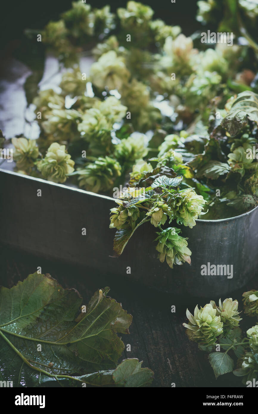 Fresh branches and cones of green hop in old metal crate. Beer concept. Dark rustic style. Natural day light. Retro - Stock Image