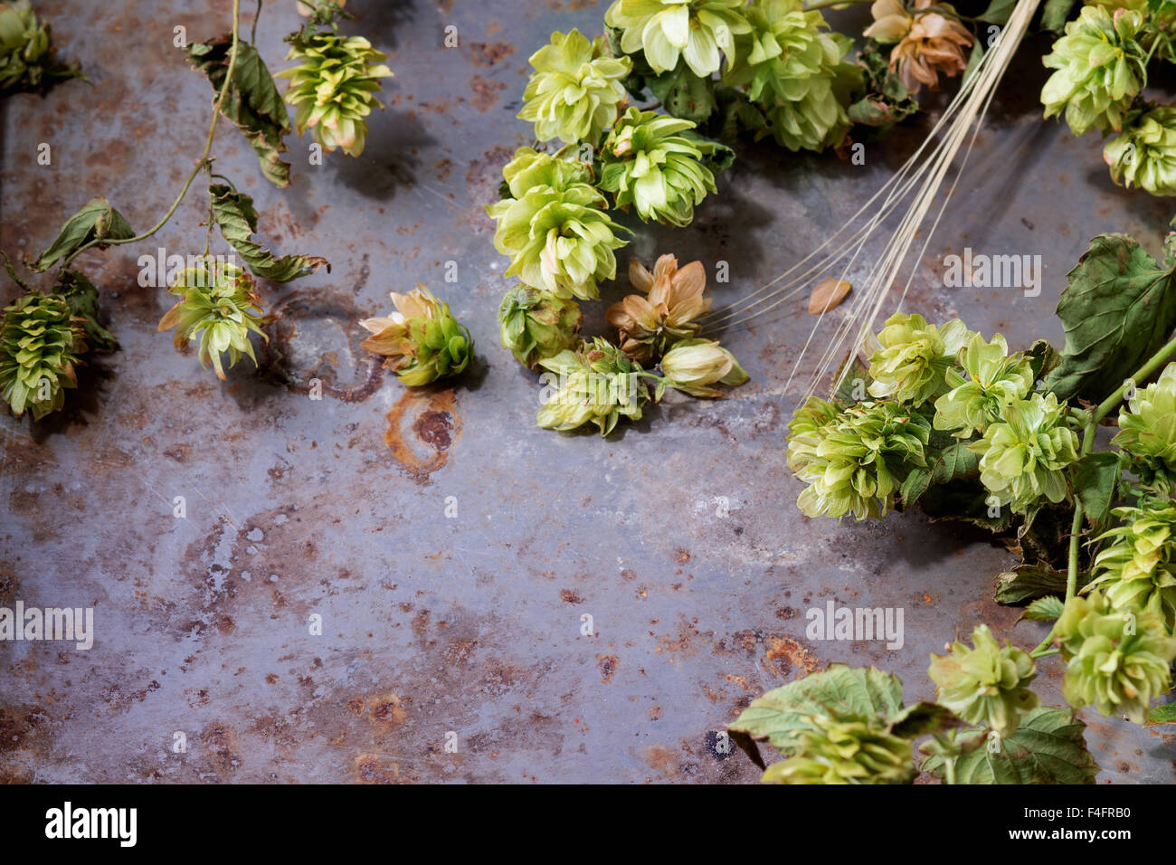 Fresh branches and cones of green hop and ears of barley over old metal background. Beer concept. With copy space - Stock Image